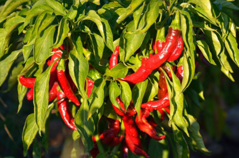 Why do hot peppers make your mouth hot?